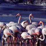 EVROS River Flamingos