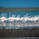 Flamingos, Nestos river
